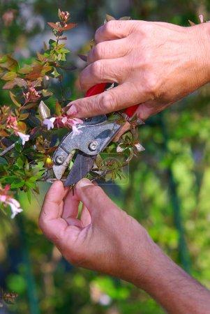 Photo pour Gros plan d'une main de mens avec cisaille tailler les buissons - image libre de droit