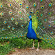 Photo of a peacock with its colorful tail fully op...