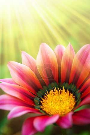 Photo for Single daisy flower in a green field under warm sunlight rays - Royalty Free Image