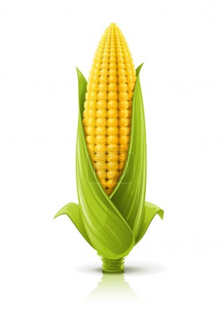 Corncob vector illustration isolated on white back...