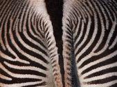 Zebra v ČB