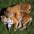 A fantastic and beutiful tiger in a zoo...
