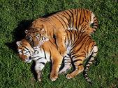 """Постер, картина, фотообои """"Пара Тигры"""""""