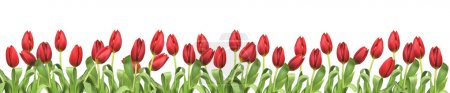 Bouquet of red tulips on white background - flowers