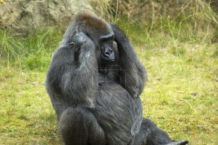 Photo pour Gorille avec ses mains contre ses oreilles, comme si il ne veut pas entendre ce que vous dites. - image libre de droit