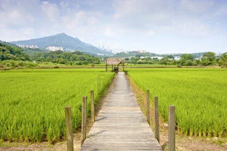 Foto de Granja de arroz se separó en verano - Imagen libre de derechos