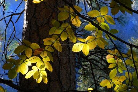 Photo pour Soleil coulant à travers la forêt éclairant les feuilles d'un arbre contre un ciel bleu indigo - image libre de droit