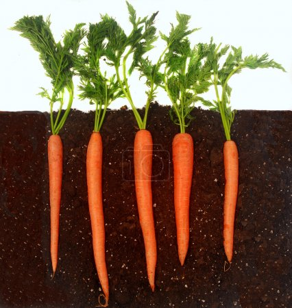 Photo for Organic carrots growing in rich dark dirt - Royalty Free Image