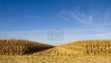 Photo pour Champ de maïs récolté un jour d'automne - image libre de droit
