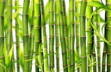 Photo for Bamboo sprouds background - Royalty Free Image