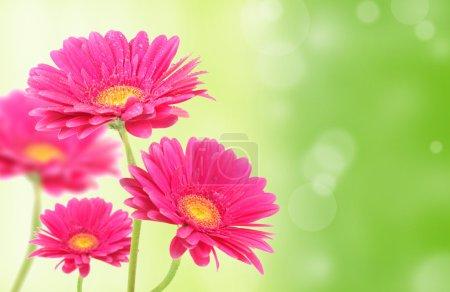 Colored gerberas flowers