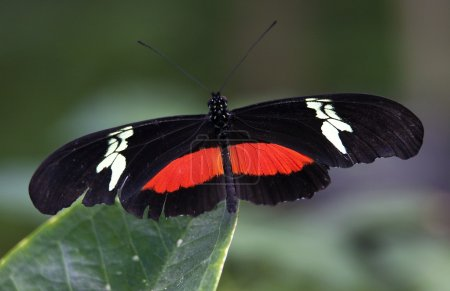 Red White Longwing Butterfly Close Up