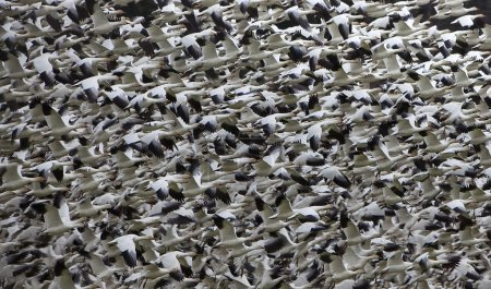 Snow Geese Abstract Thousands of Snow GeeseTaking Off and Flying