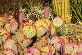 Purple Prickly Pear Cactus Opuntia Santa-Rita Desert Botanical G