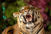 Tygr vrčí