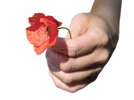 Photo pour Main de femme avec pavot, isolé sur fond blanc - image libre de droit