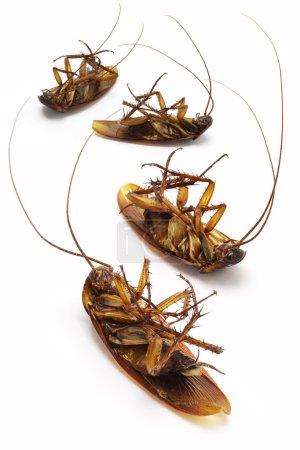 Dead cockroaches
