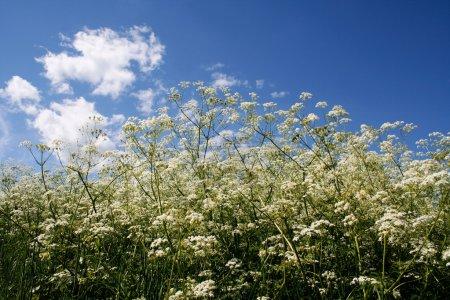 Photo pour Fleurs d'été naturelles blanches contre le ciel bleu - image libre de droit