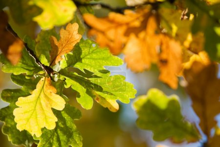 Photo for Oak tree leaves in bright autumn colors - Royalty Free Image