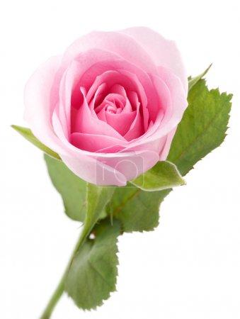 Photo pour Macro shot de belle rose rose sur blanc - image libre de droit