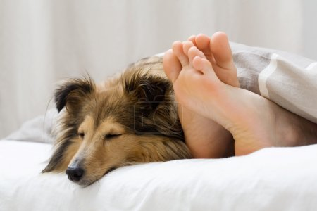Photo for Dog sleeping on the bed by owners feet - Royalty Free Image