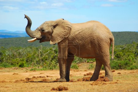 African elephant smelling