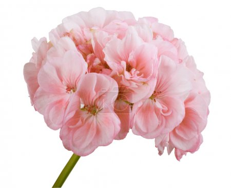 Geranium has a positive energy, creates a warm and cozy in the house.