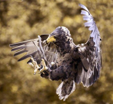 Hawk's attack...