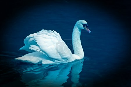 Photo for Graceful swan - Royalty Free Image