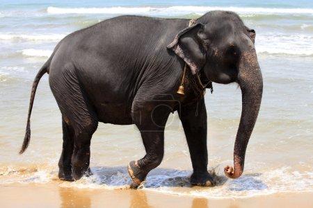 Photo for The elephant on the beach. Sri Lanka (Ceylon) - Royalty Free Image