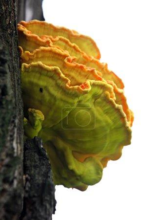 Photo pour Champignons en bois sur un tronc - image libre de droit