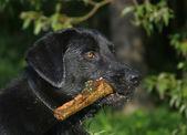 Labrador with a stick