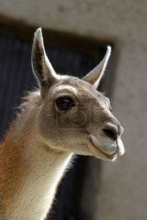 Foto de Retrato de lama divertido - Imagen libre de derechos
