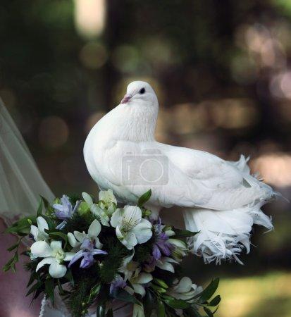 Photo pour Le pigeon dans les mains de la mariée - image libre de droit