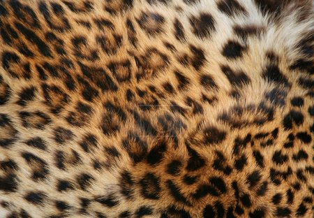 Skin of the leopard