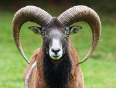 Muflony portrét