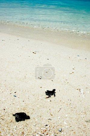 Photo pour Une fois que les bébés tortues émergent du nid, elles utilisent des indices pour trouver l'eau, y compris la pente de la plage et la lumière naturelle de l'horizon océanique. . - image libre de droit