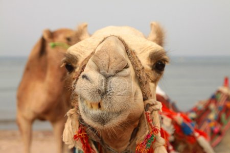 A camel seems to be smiling in a close-up while it...