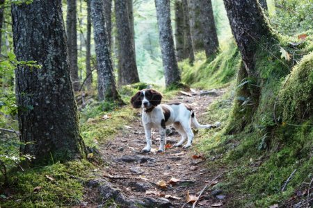 A working english springer spaniel on a woodland trail