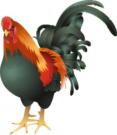 chicken cockrel illustration
