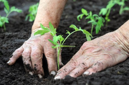 Photo for Senior woman planting a tomatoes seedling - Royalty Free Image