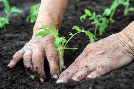 Planter un semis de tomates