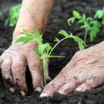 Senior woman planting a tomatoes seedling...