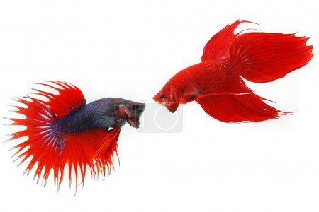 Photo pour Combattre les poissons - image libre de droit