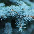 Needles of a blue spruce close...