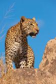 Leopardí stojící na skále v savannah