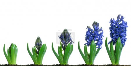 Photo for Progressive images of a blue hyacinth flower growing and blooming - Royalty Free Image