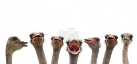 Ostrich heads isolated on white back