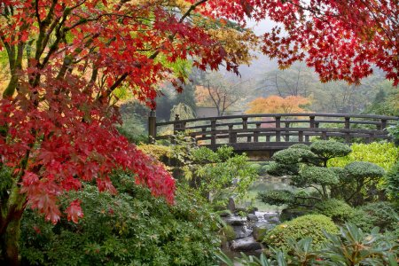 Japanese Maple Trees by the Bridge in Fall